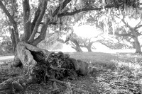 Early Morning_Live Oaks_Moss_Vermilion Parish_B&W_Kelly Morvant Photography_10-12-14-7728