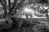 Early Morning_Live Oaks_Vermilion Parish_B&W_Kelly Morvant Photography_10-12-14-7730
