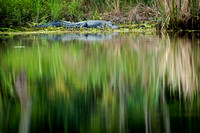 alligator_palmetto-state-park_2015_kelly-morvant-photography-9999