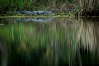 alligator_reflections_palmetto-state-park_2015_kelly-morvant-photography-0001