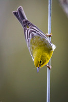 Finch-MarylinMorvant_Kaplan-9814