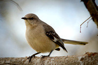 Mockingbird-MarylinMorvant_Kaplan-0157