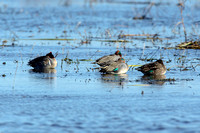 Green Wing Teal - Water - Cameron Parish LA-3101