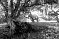 Early Morning_Live Oaks_Moss_Vermilion Parish_B&W_Kelly Morvant Photography_10-12-14-7726