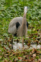 Great Blue Heron Nature Image_6639