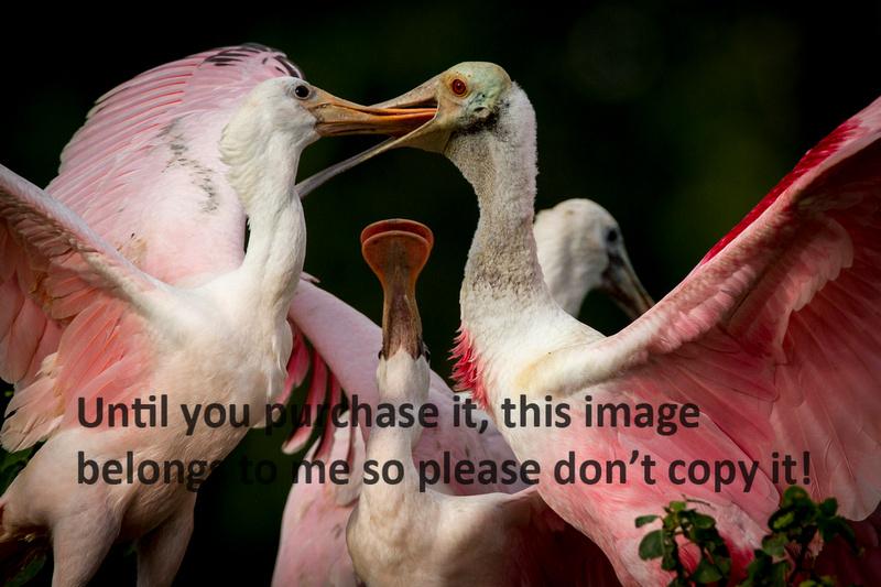 Roseate Spoonbills mom feeding immature