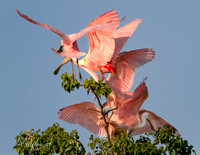 RoseateSpoonbillsFightingForTreeTopEarlyLight-JeffersonIslandFinalA-0620