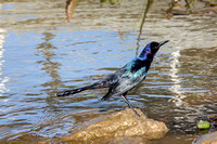 st-mary_atchafalaya-basin-grackle_2016_kelly-morvant-photography_-0475