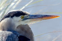 Great Blue Heron - Closeup -  Cameron Parish LA-3244
